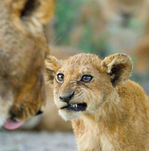 反抗期のライオン