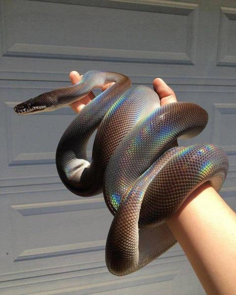 虹色に光る蛇