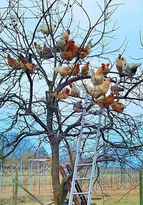 ニワトリの生る木