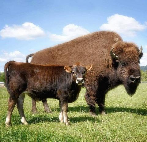 仲良しのバイソンとジャージー牛 (2)