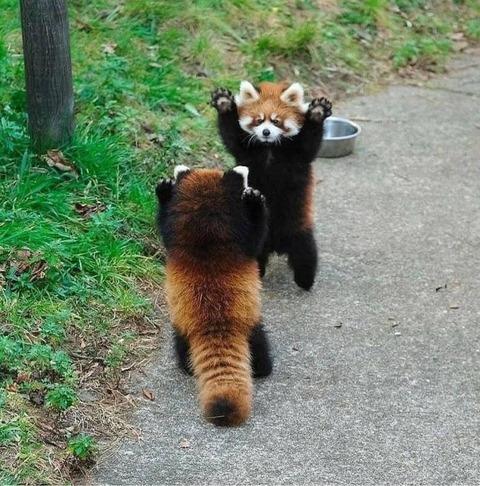 出合い頭のレッサーパンダの戦い