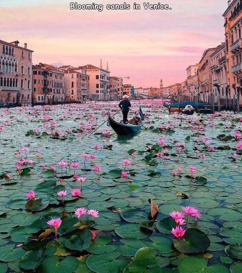 ヴェネチアにスイレンが咲き乱れる