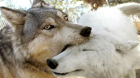 オオカミ噛み合い