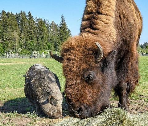 仲良しのバイソンとジャージー牛 (4)