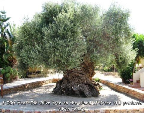 オリーブの木が樹齢三千年になるとこうなる