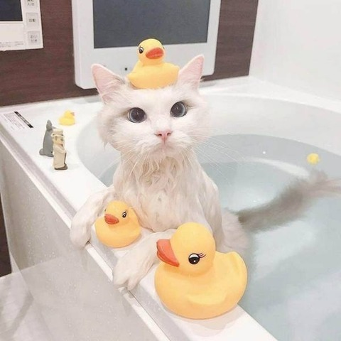 ラバーダックと入浴中の美ネコ