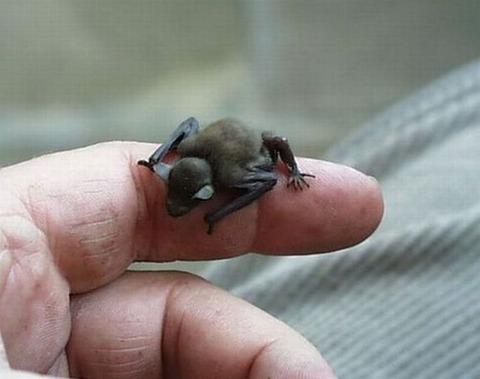 小さい蝙蝠