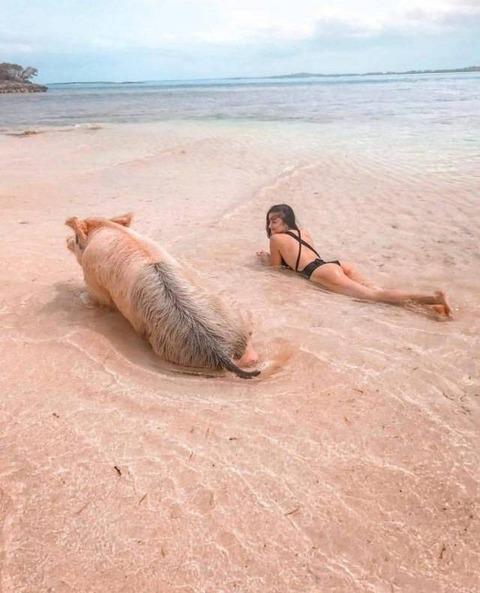 ブタと泳げるバハマの海岸