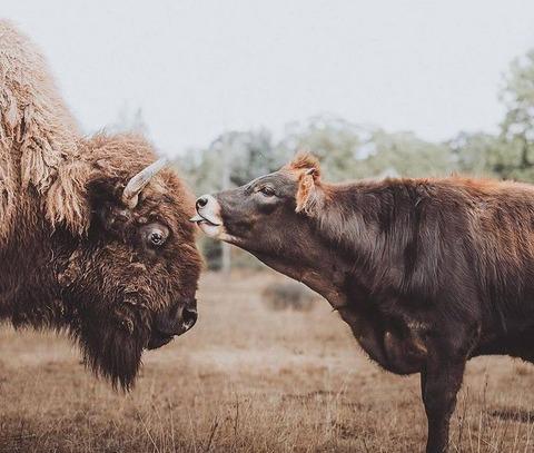 仲良しのバイソンとジャージー牛 (3)