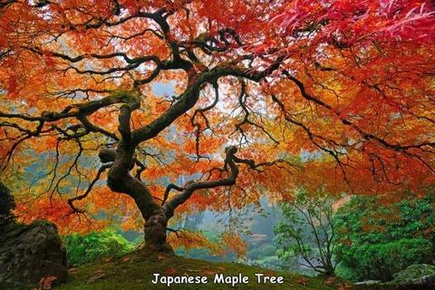 日本のモミジが美しい