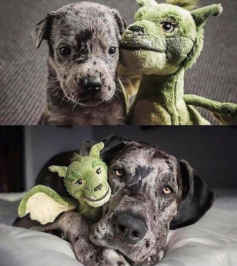 ぬいぐるみとの対比で見るイヌの成長