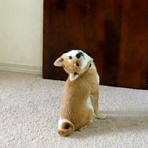 柴犬の画像 p1_23