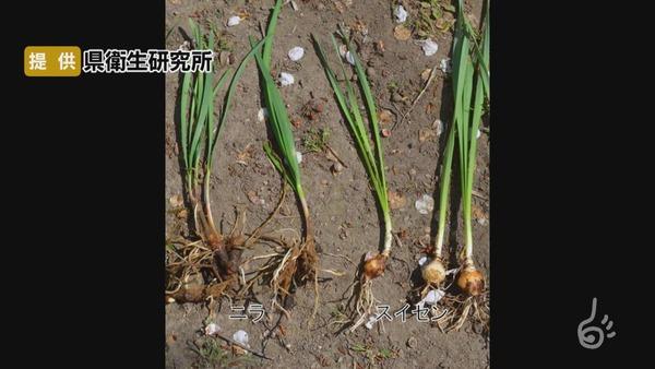 【山形】畑のスイセンをニラと勘違い 男性2人が食中毒 おひたしにして食べる