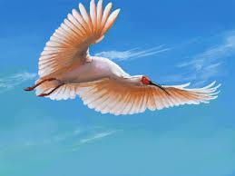 鳥好きのワイがトキとシロトキの画像を交互に貼るスレ