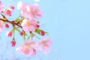 桜の花で花セラピー