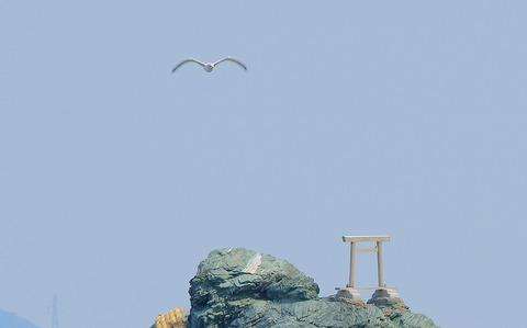 夫婦岩の鳥居を見つめるカモメ