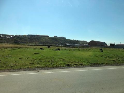 放牧されている乳牛と高台の建物