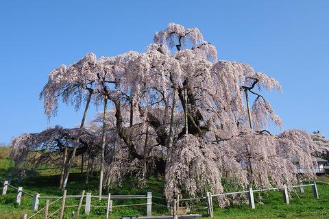 滝桜の画像