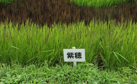 IMG_9740_2紫穂