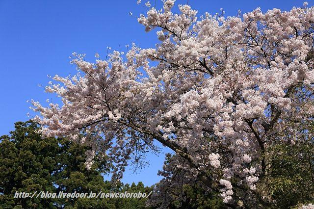蓮華峰寺の桜 -2016-