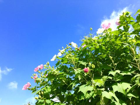 南茨木の花_芙蓉と空1