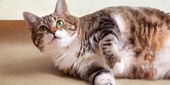 fat-cat-lying-on-the-floor
