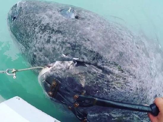 【画像】512歳のサメが見つかるもとんでもない姿だった・・・・