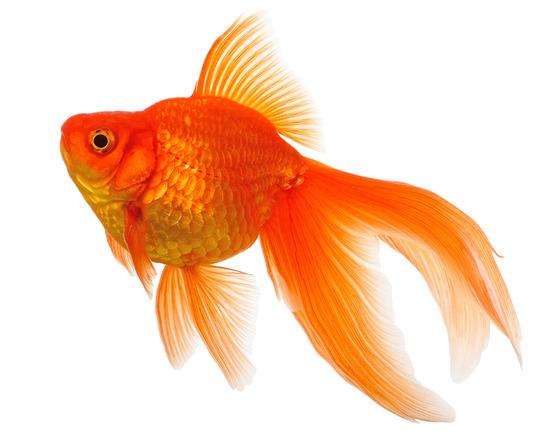 女子中学生が500匹の金魚を学校のプールに放流し大騒ぎ 「金魚と一緒に泳ぎたかった」