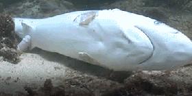 【画像】 フカヒレのために、ヒレだけ取られたサメが可哀相・・・w