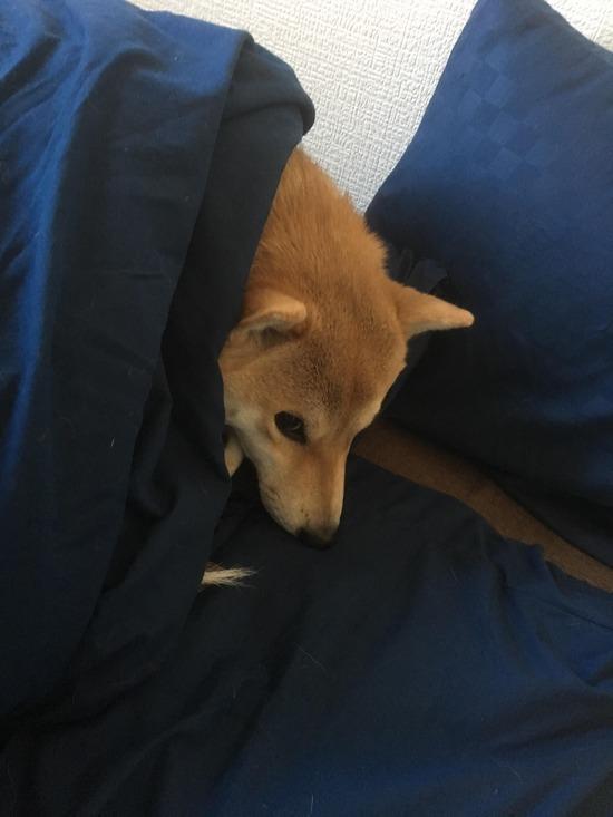 ワイの家の柴犬さん、ワイから布団を強奪するwww