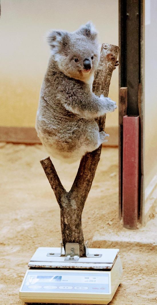 【画像】動物園のコアラさん、体重を計測されてしまう…