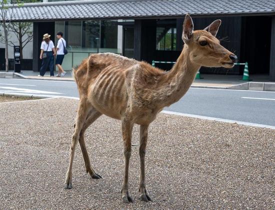 【画像】奈良公園のシカ、鹿せんべいを貰えなくなってやせたかなしい姿になる・・・・・