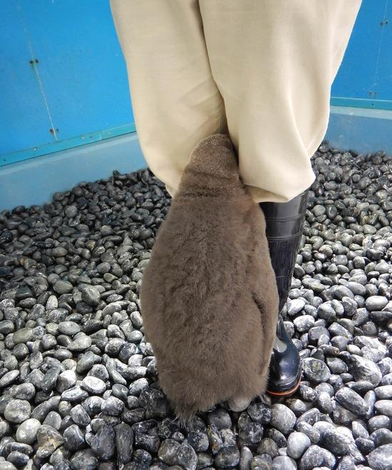 【画像】ペンギン0「飼育員さんの足元落ち着くンゴ」