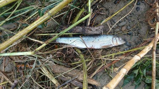 【画像】台風の影響で魚が大量に打ち上げられててヤバイ・・・・・