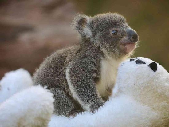【速報】オーストラリア森林火災の被害に遭った現地から嬉しい知らせ!コアラたちが…