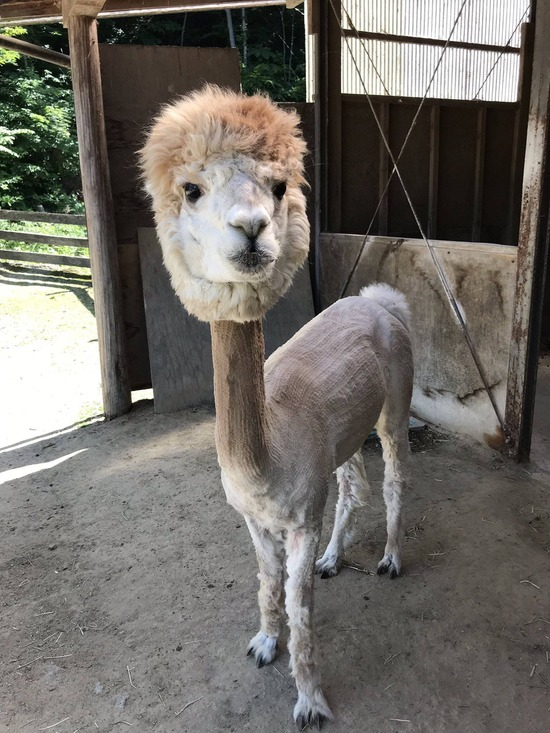 アルパカさん、暑さ対策の為に毛刈りされて無残な姿になるwww