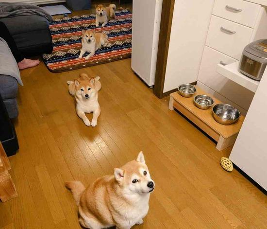 柴犬たちもソーシャルディスタンスばっちり…!絶妙な距離感で並ぶ柴犬親子が面白かわいいwww