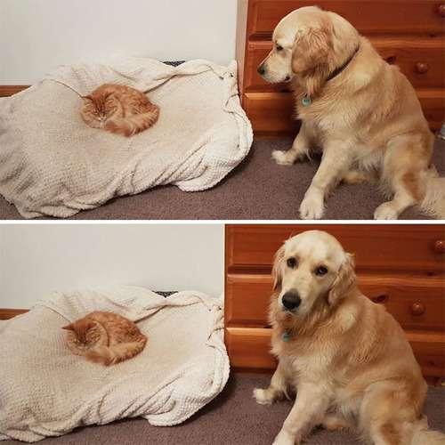 犬「なにかおかしいと思う…」猫にベッドを奪われた結果www