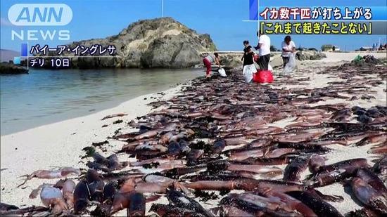 【画像】白い砂浜にイカ数千匹が打ち上げられる!食べないよう当局が注意喚起wwwwwww