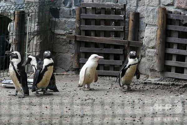 【画像あり】希少なアルビノの赤ちゃんペンギンがこちらwwwwww