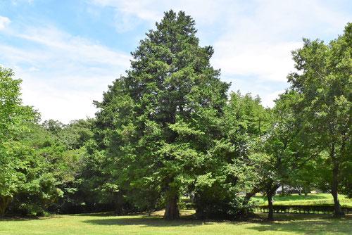 檜-画像-樹木図鑑