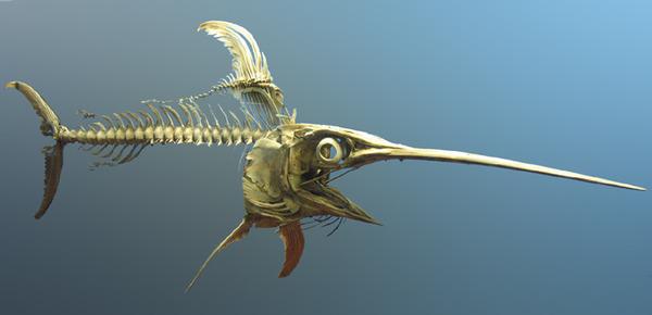 Swordfish_skeleton