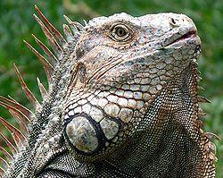 250px-Iguana_Costa_Rica