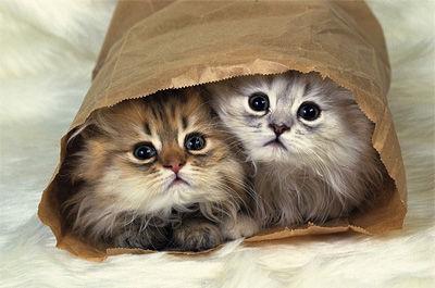 袋に入ったペルシャ猫