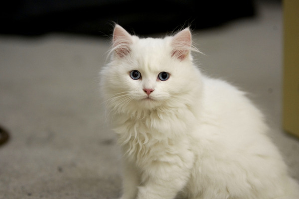 Animals___Cats_White_fluffy_cat_with_blue_eyes_046776_