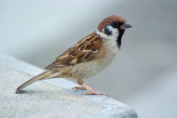 1200px-Tree_Sparrow_August_2007_Osaka_Japan