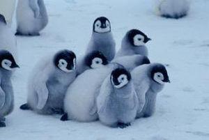 ペンギンのヒナが集まった「クレイシ」が可愛すぎる・・・※動画あり