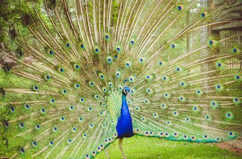 peacock_open