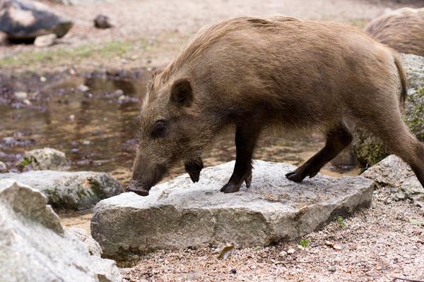 boar012