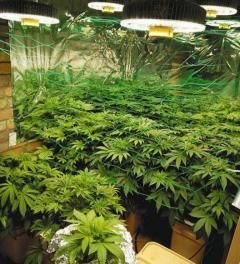 2年間で1千万円を売り上げか 大麻栽培の26歳と男8人を摘発 沖縄